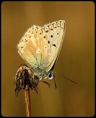 Male Chalkhill Blue aberration (glostopcat) Tags: chalkhillbluebutterfly butterfly insect invertebrate glos august summer macro butterflyconservation prestburyhillnaturereserve