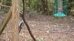 Woodpecker on feeder (Brian Flint) Tags: woodpecker rx10iii greatspottedwoodpecker slowmotion dendrocoposmajor