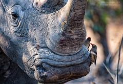 White Wash (Dwood Photography) Tags: white rhino whiterhino wash whitewash dwoodphotography dwoodphotographycom wildlife grey gray oxpecker oxpeckers 2018 green brown tan orange yellow