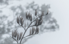 Flax after the season (Ian@NZFlickr) Tags: flax seed pods misty auckland winter he