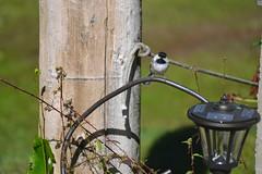 2018-09-10 Bird Watching 8 (s.kosoris) Tags: skosoris nikond3100 d3100 nikon bird birds chickadee camp huronian