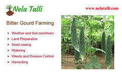 Bitter Gourd Farming|Nelatalli (roopasree1379) Tags: bitter gourd agricultural updates farming techniques cultivation methods