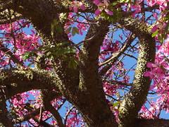 Florettseidenbaum (Ceiba speciosa); Monchique, Algarve (80) (Chironius) Tags: lagos portugal algarve monchique baum bäume tree trees arbre дерево árbol arbres деревья árboles albero árvore ağaç boom träd rosa blüte blossom flower fleur flor fiore blüten цветок цветение rosids malvids malvales malvenartige malvaceae malvengewächse wollbaumgewächse bombacoideae 2017101827urlaubportugal