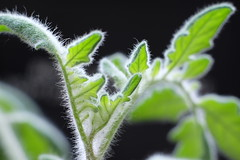 hairy (Music and Lights) Tags: tomatoes hairyleaves