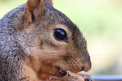 Squirrels in Ann Arbor at the University of Michigan on September 18th, 2018 (cseeman) Tags: gobluesquirrels squirrels annarbor michigan animal campus universityofmichigan umsquirrels09182018 summer eating peanut septemberumsquirrel foxsquirrels easternfoxsquirrels michiganfoxsquirrels universityofmichiganfoxsquirrels