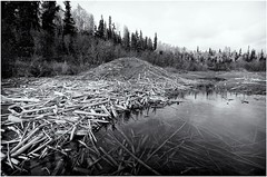 Beaver Dam (Wolfhorn II) Tags: beaver dam bw nature alaska wilderness trees sticks water