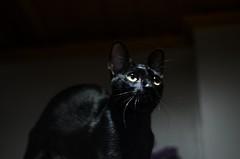 yellow eyed bat (teylorbruno) Tags: cats cat bat black blackcat camila pet yellow eye eyes 50mm nikon nikond7000 photography lowlight home interior navigator