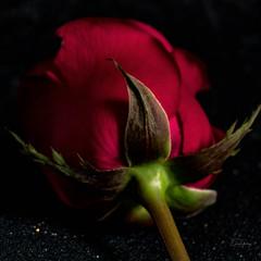 L´important c´est la rose (Enio Godoy - www.picturecumlux.com.br) Tags: rose 1x1 sony01 details sonyalpha clouseup flower niksoftware viveza2344329241135 sony macro sonyalpha6300 naturelight texture natural nature