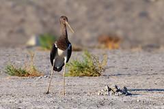 Black Stork Juv. (Asa-Photography) Tags: bird flight nature wildlife wild wildlifephotography naturephotgraphy nikon nikond850 d850 200500mm nikkor