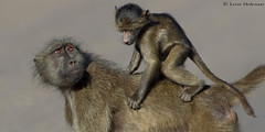 Mother's caring eyes (leendert3) Tags: leonmolenaar southafrica krugernationalpark wildlife nature mammals chacmababoon