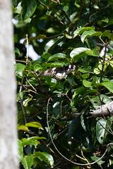 Ornithoptera meridionalis meridionalis (Southern Tailed Birdwing) female (Kristof Zyskowski and Yulia Bereshpolova) Tags: papilionidae papilioninae troidini schoenbergia ornithoptera meridionalis southerntailedbirdwing papuanewguinea