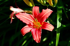 Red Lily (Gemma Hampton) Tags: red lily garden lilium wales uk nationaltrust lilies