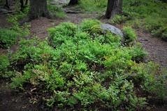 Park Mon Repos (Vyborg) (VernierN) Tags: mon repos monrepos vyborg russia монрепо выборг россия blueberry forest
