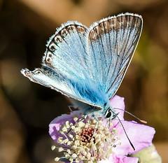 Chalkhill Blue (wightbern) Tags: chalkhillblue butterfly lepidoptera wildlife nature culverdown isleofwight nationaltrust macro nikon nikonnaturephotography d500 sigma105mmf28exdgoshsm