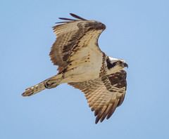 Osprey Fly-by (tresed47) Tags: 2018 201804apr 20180423delawarebirds april birds canon7d content delaware flightshot folder general osprey peterscamera petersphotos places portmahon season spring takenby us ngc