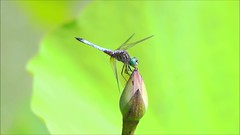 Dragonfly SLow Mo Clip 43 Edit 2 (Michael.Lee.Pics.NYC) Tags: newyork nybg newyorkbotanicalgarden dragonfly bluedasher insect female video slowmotion hover flight sony a6500 fe100400mmgm landing takeoff