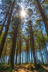 Pine Forest... (icemanigation) Tags: forest pine pinetrees trees woodland blue green sun sunshine sunlight sunlit sunrays naturephotography nature