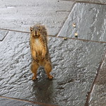 Squirrels in Ann Arbor at the University of Michigan on September 10th, 2018 thumbnail