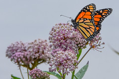 DSC_8040 (greenjay2) Tags: butterflies insects male monarchdanausplexippus status