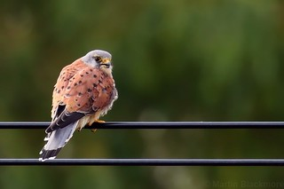 Kestrel (Male) 116594