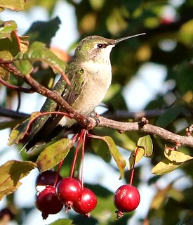 Female hummingbird on  Crabapple tree