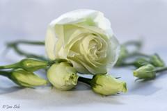 White Rose (Jan Slob) Tags: whiterose rose roos witteroos bloem flower wit macro nikon nikond750 ©allrightsreserved nikon105mm28 nikonafs105mmf28gifedvrmicro stilllive