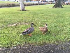 Friendly Ducks (CR1 Ford LTD) Tags: ducks mallards mallardducks mallardduck quack newlynn birdlife birds