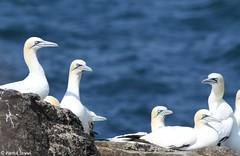 Fou de Bassan (fr) - Morus bassanus (Linnaeus, 1758) - Basstölpel (de) - Northern gannet (en) (patrick68110) Tags: oiseau île manche rocher mer