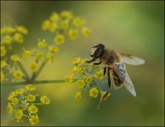 Bee on wild fennel (catb -) Tags: france saintgeniès bee honeybee insect macro