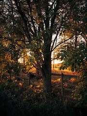 Laukon haka (Olli Tasso) Tags: laukko laukonkartano laukonhaka corral pasture haka aitaus aita fence fall syksy autumn sunset auringonlasku tree puu outdoors nature luonto maisema landscape maalaismaisema rural countryside maaseutu vesilahti suomi finland