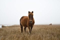 Welcome Friend by Julie Cavallio (Maryland DNR) Tags: 2018 photocontest winner ponies wildlife assateague statepark winter