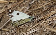 Marbré-de-vert - IMG_7193 (6franc6) Tags: papillon occitanie languedoc gard 30 petite camargue août 2018 6franc6 vélo kalkoff vae