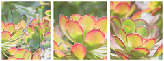 Soft succulents (jettebaltzer) Tags: succulent triptych flower collage
