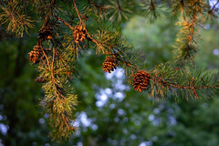 A Small Group of Pine Cones (John Brighenti) Tags: photography photos outdoors evening twinbrook rockville maryland md commute sony alpha a7ii a7 ilce7m2 ilce sel70300g 70300mm glens plants leaves green bokeh pinecone conifer pine tree blue brown