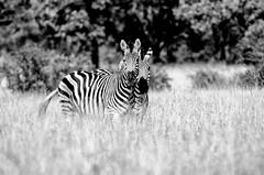 Zebras in the Kruger (C McCann) Tags: kruger national park southafrica zebra zebras animals
