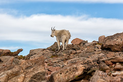 August 31, 2018 - A Mountain Goat hangs out on Mount Evans. (Tony's Takes)