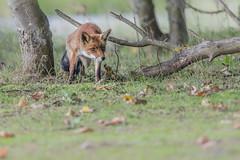 R18_2187 (ronald groenendijk) Tags: cronaldgroenendijk 2018 diereninhetwild rgflickrrg animal copyrightronaldgroenendijk fox nature natuur natuurfotografie netherlands outdoor ronaldgroenendijk vos vulpis wildlife