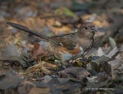 Towhee (Jack Nevitt) Tags: rufus sided towhee bird songbird woods trees leaves autumn