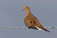Mourning Dove (Lynn Tweedie) Tags: beak tail wing brown ngc animal blue 7dmarkii feathers bird missouri sigma150600mmf563dgoshsm mourningdove sky eye eos leessummitmunicipalairport wire canon