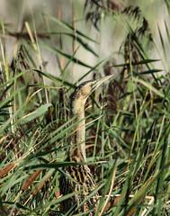Bittern in the marsh (ray 96 blade) Tags: bittern bird hidden cammo groveferry stodmarshnnr springwatch wildlife kent