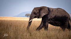 Serengeti Elephant 3 (donte.hunter85) Tags: tanzania safari africa nature adventure lumixg9 lumix panasonic