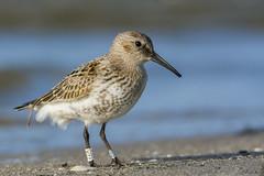 Biegus zmienny/Dunlin/Calidris alpina (mirosławkról) Tags: wild wildlife animal bird nature nikonnaturephotography 150600 sea water beach ornithology sand dunlin biegus