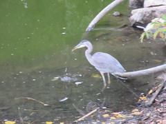 Great Blue Heron (trilliumgirl) Tags: great blue heron salmon arm bc british columbia canada