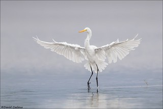Great Egret About To Land.