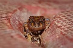 I'm trying to hide here.... (Moving Iris) Tags: frog herping herpatology herpetofauna nature macrophotography macro amphibian nikkor105f28 nikonindia nikond500 nikon