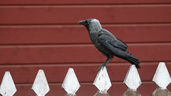 Jackdaw at Skansen in Stockholm, Sweden 28/6 2018. (photoola) Tags: stockholm skansen fågel djur kaja jackdaw photoola sweden bird
