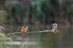 Kingfisher with a fish (DGooding89) Tags: kingfisher orange blue bird fishing fish flight flying landing branch perch