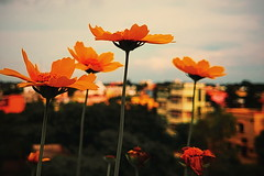orange smile ...    #LGG6 (istiaque.mohammad) Tags: mobile mobilography mobilephotography lg lgg6 lgg6short lgmobile love lovephoto flower cloud colourfull vsco orange nature sky phonography phonecamera cellphonephotos plants fotografia foto sunset india indian outdoor building