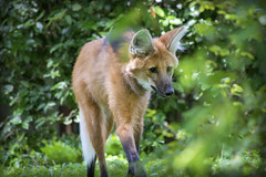 Maned Wolf I (Alexander Day) Tags: maned wolf animal animals mammal mammals alex day alexander washington dc national zoo fauna