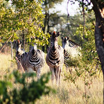 Zebras Staring thumbnail